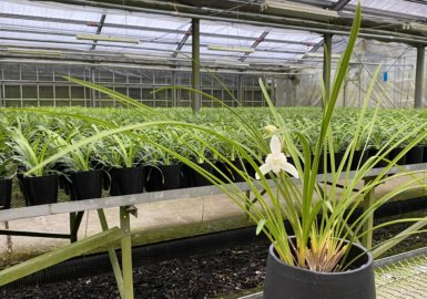 シンビ最新実生 芳香有の白花春蘭系和蘭候補